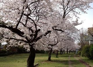 2014 桜2.jpg