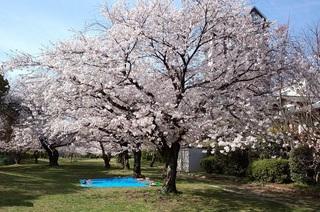 2014 桜.jpg