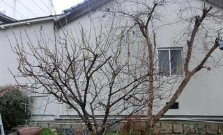 2015 サクランボの樹.jpg