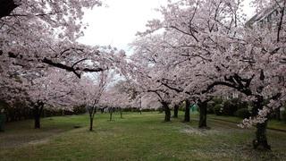 2016年4月 桜.jpg