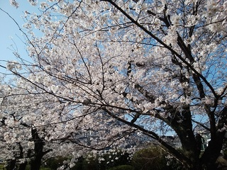 H30.3.29 桜.jpg